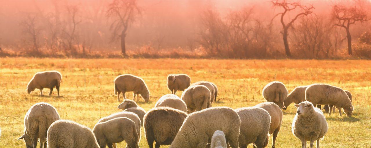 Pourquoi j'ai décidé de ne pas élever des moutons